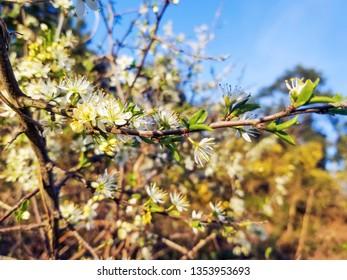 White flowers of backthorn or sloe, Prunus spinosa, growing in Galicia, Spain