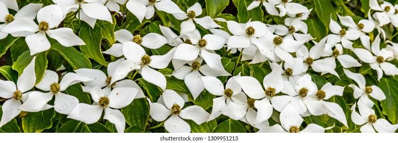 White flowers, banner. Spring flowering background with Cornus kousa var. chinensis or Chinese dogwood