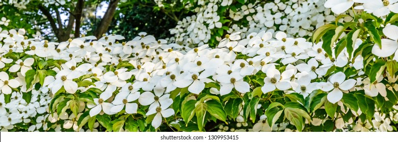 White flowers, banner. Spring flowering background with Cornus dogwood var. Porlock. Cornus kousa x capitata 'Porlock' blossom