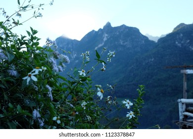 White flowers are blooming in front of the dark blue mountains, towering Doi Luang, Chiang Dao.