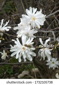 White flowers of blooming magnolia tree