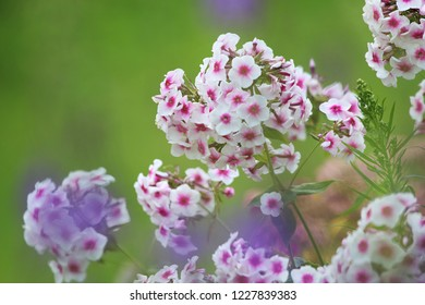 White flowers. Blooming flowers. White phlox on a green grass. Garden with phlox. Garden flowers. Nature flowers in garden. Blooming phlox.