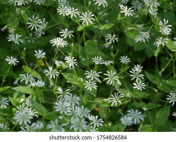 white flowers blooming stellate flower, medicinal plant   used in traditional medicine