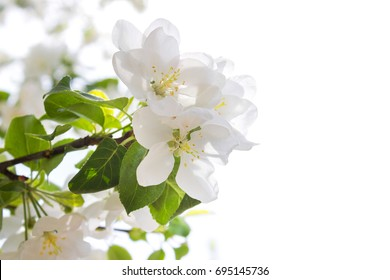 White flowers of blooming tree on white background