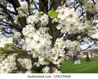 White flowers blooming trees around sidewalk in Plainfield, Indiana