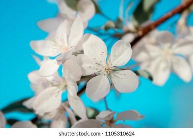 White flowers blossom over blue sky. Nature spring background.
