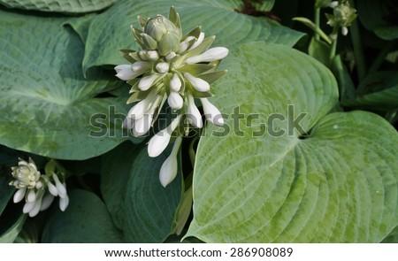 White Flowers Blue Green Hosta Plant Stock Photo Edit Now