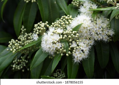 White flowers and buds of the Australian native Lemon Myrtle, Backhousia citriodora, family Myrtaceae. Endemic to coastal rainforest of New South Wales and Queensland. Lemon scented aromatic foliage - Shutterstock ID 1878056155