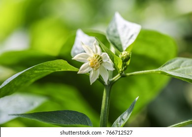 White flowers of capsicum annuum, close up of blooming pepper
