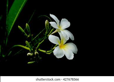 White flowers flowers flowers champa laos petals 5 petals white flowers flowers flowers champa laos petals 5 petals fragrant flowers mightylinksfo