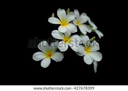 White flowers flowers flowers champa laos stock photo edit now white flowers flowers flowers champa laos petals 5 petals fragrant flowers mightylinksfo