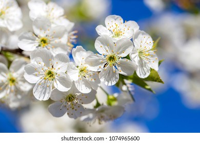 White flowers of the cherry blossoms on a spring day over blue sky background. Flowering fruit tree in Ukraine, close up