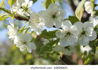 white flowers of cherry spring and spring blue sky