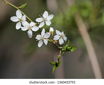 white flowers of a cherry tree