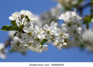 White flowers of a cherry tree on blue sky background.