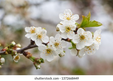 White flowers of cherry tree in an orchard during spring