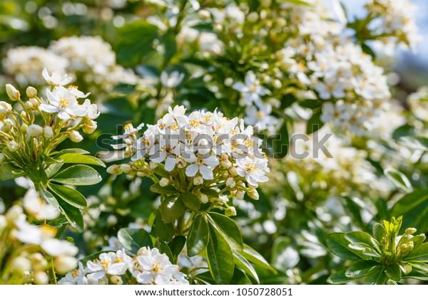 White flowers of Choisya ternata or Mexican orange blossom.  Spring flowering garden background