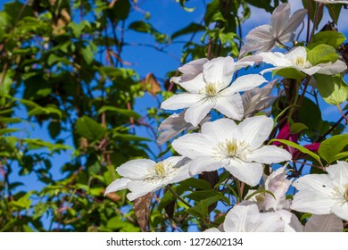 White flowers of clematis on blue sky in sunny day. Elegant clematis flower on a background of green leaves. Colorful artistic image of clematis flowers in a garden