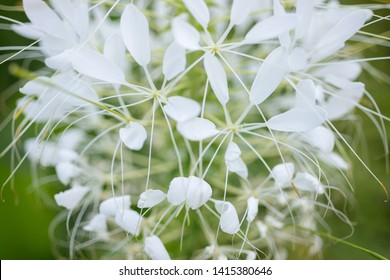 White flowers Cleome close-up. Tarenaya hassleriana
