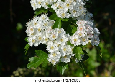 White flowers of Common Hawthorn, also known as Crataegus monogyna