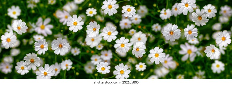 White flowers (Cosmos). Abstract background. Panorama.