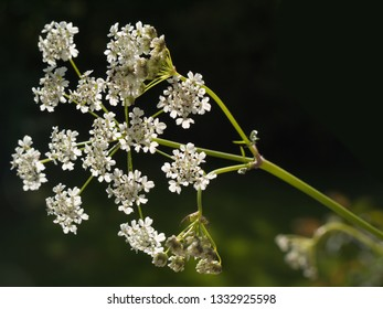 White flowers of Cow Parsley lit by the sun against a black background