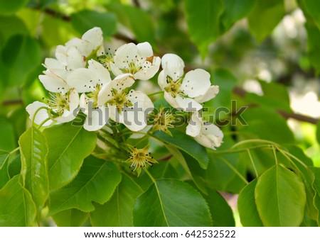 White Flowers Crabapple Tree Stock Photo Edit Now 642532522