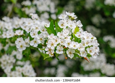 White flowers of Crataegus monogyna plant, known as  hawthorn or single-seeded hawthorn may blossom, maythorn, quickthorn, whitethorn, motherdie, haw