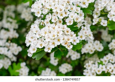 White flowers Crataegus monogyna plant, known as hawthorn or single-seeded hawthorn may, mayblossom, maythorn, quickthorn, whitethorn, motherdie, haw