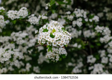 White flowers Crataegus monogyna plant, known as hawthorn or single-seeded hawthorn ( may, mayblossom, maythorn, quickthorn, whitethorn, motherdie, haw )
