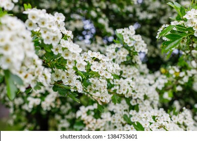 White flowers of Crataegus monogyna plant, known hawthorn or single-seeded hawthorn may, mayblossom, maythorn, quickthorn, whitethorn, motherdie, haw