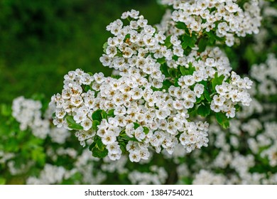 White flowers of Crataegus monogyna plant, known as hawthorn or single-seeded hawthorn may, mayblossom, maythorn, quickthorn, whitethorn, motherdie, haw