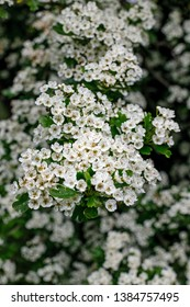 White flowers of Crataegus monogyna plant, known as hawthorn or single-seeded hawthorn, may, mayblossom, maythorn, quickthorn, whitethorn, motherdie, haw