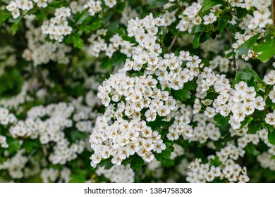 White flowers of Crataegus monogyna plant, known as  hawthorn or single-seeded hawthorn ( may, mayblossom, maythorn, quickthorn, whitethorn, motherdie )