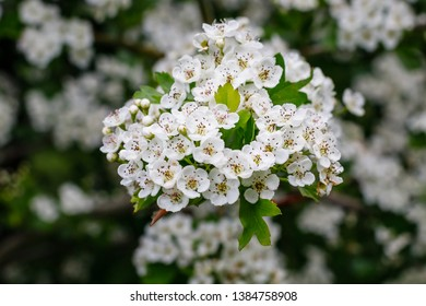 White flowers of Crataegus monogyna plant, known as  hawthorn or single-seeded hawthorn ( mayblossom, maythorn, quickthorn, whitethorn, motherdie, haw )