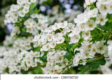 White flowers of Crataegus monogyna plant, known as  hawthorn or single-seeded hawthorn ( may, mayblossom, maythorn, quickthorn, whitethorn, motherdie, haw )
