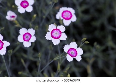 Mass pink flowers wild creeping mother stock photo royalty free white flowers with crimson pink ring of maiden pinks also called ladys cushion meadow mightylinksfo Choice Image