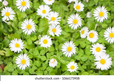 White flowers, daisy, daisies flowers and green grass growing up in the garden background, Top view field spring flowers.