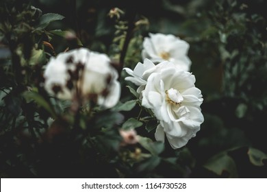 White flowers with dark moody green leaves