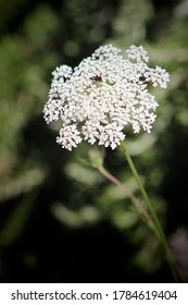 White flowers of Daucus carota blooming in morning sunrise This flowers have the common names include wild carrot, bird's nest, bishop's lace, and Queen Anne's lace, is a white, flowering plant.