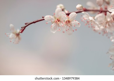 White Flowers - Delicate blossom of Hawthorn (Crataegus) - medicinal herbs