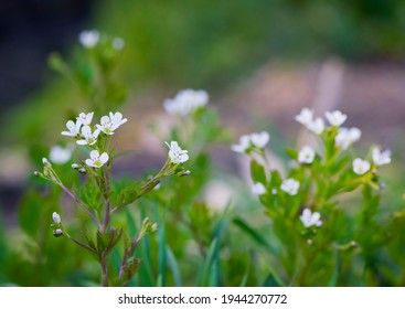 White flowers. delicate white spring wildflowers. Wildflowers and grass in a misty haze on a cloudy morning. Plants. floral background, close-up