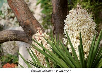 White flowers of Don Quixote lance
