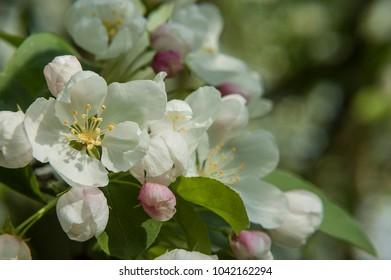 White Flowers in Early Spring of a Malus Floribunda Tree