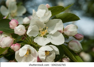 White Flowers in Early Spring of a Malus Floribunda Tree