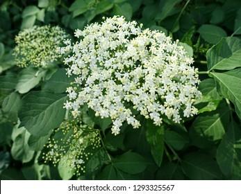 White flowers of the elderflower (Sambucus nigra) bush. Natural impressionism.