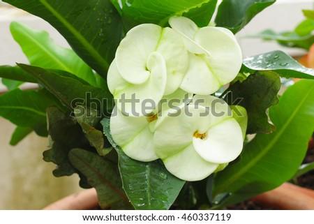 White Flowers Euphorbia Milii Poi Sian Stock Photo Edit Now