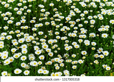 White flowers field