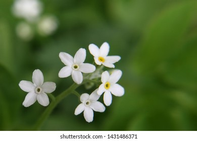 White flowers of field forget-me-not (Myosotis arvensis) close up