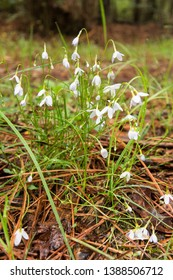 White flowers in a forest.  Leonardtown, MD, USA.